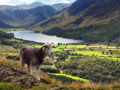 janice-carrol_buttermere-sheep-taken-from-rannerdale-knott