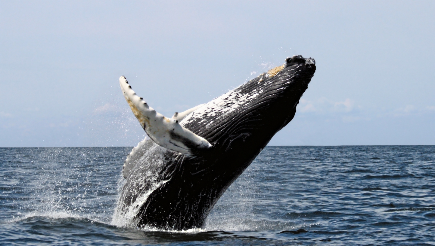 the main features of the hump back whale Premier orca whale watching from anacortes in the san juan islands, wa we guarantee that you will see whales: orca, humpback, minke, and/or gray.