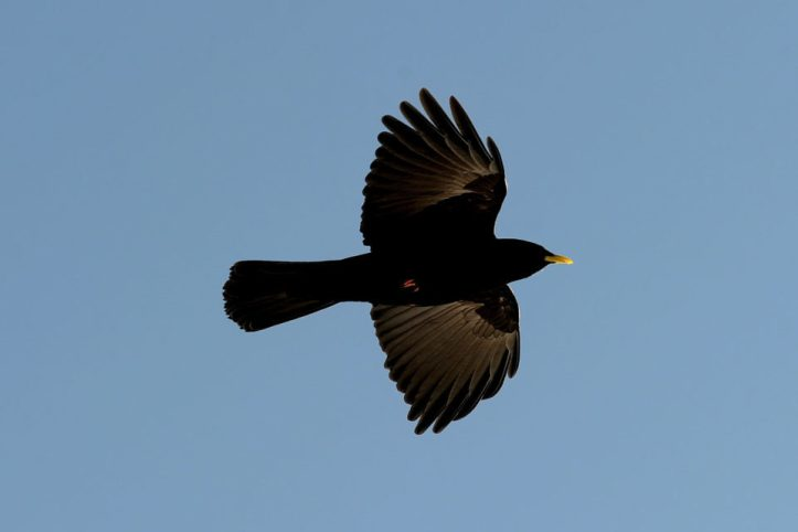 A rook flies in the sky on January 13, 2