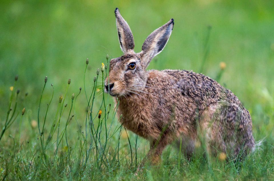 An European hare sits on a field near Lu