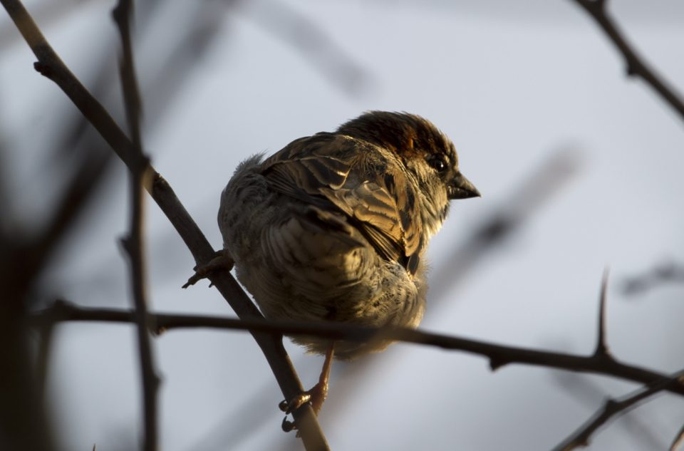 A house sparrow (passer domesticus) sits