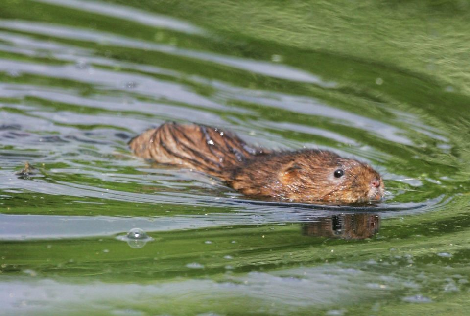 Water Voles Are Being Reintroduced Into West Country Waterways